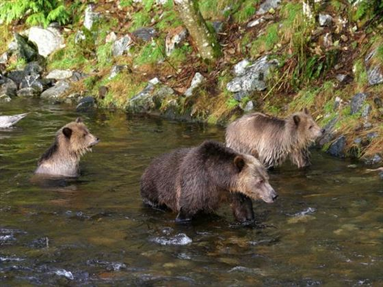 Grizzly bears at Knight Inlet Lodge