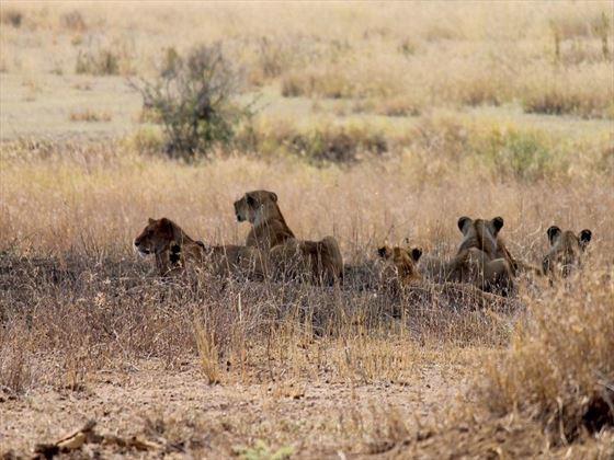 Nimali Serengeti Lions