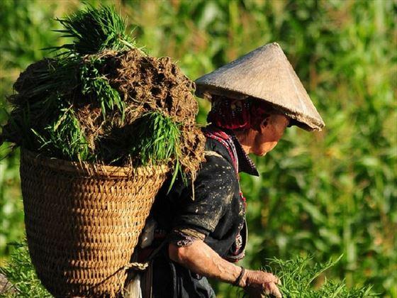Sapa - working in the fields