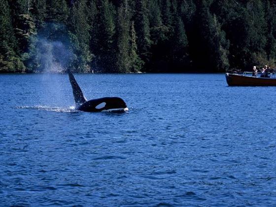 An orca near Tofino