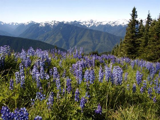 Alpine meadow in Olympic National Park