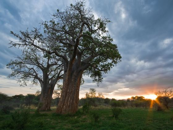 Baobab trees at Tarangire National Park