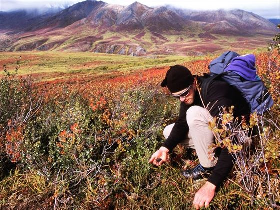 Berry picking in Tombstone Territorial Park