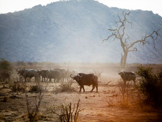 Buffalo in Madikwe Game Reserve