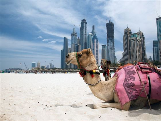 Camels in Dubai
