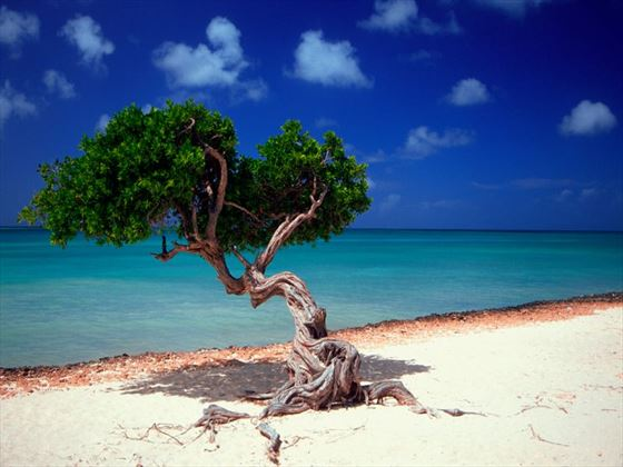 Divi Divi tree on the beach