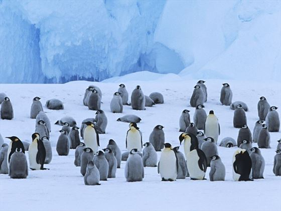 Emporer penguins, Weddell Sea