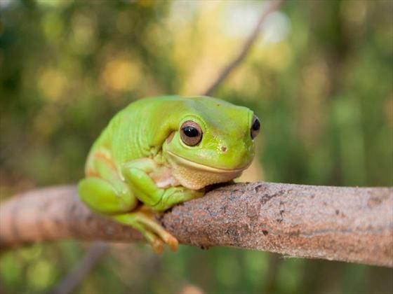 Green Tree Frog, Katherine Gorge