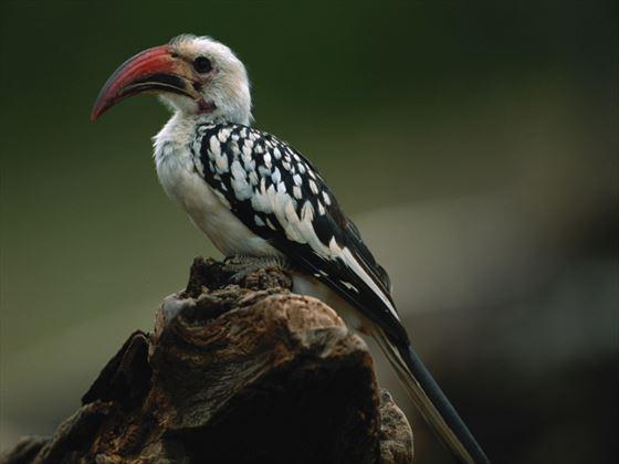 Ground hornbill, Samburu National Park