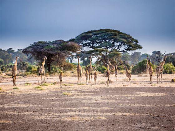 Herd of giraffe in Kilimanjaro, Africa