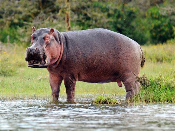 Hippo at Okavengo Delta