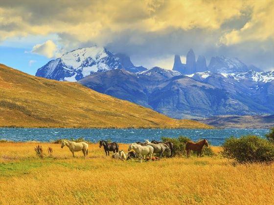 Wild Horses in Torres del Paine, Patagonia