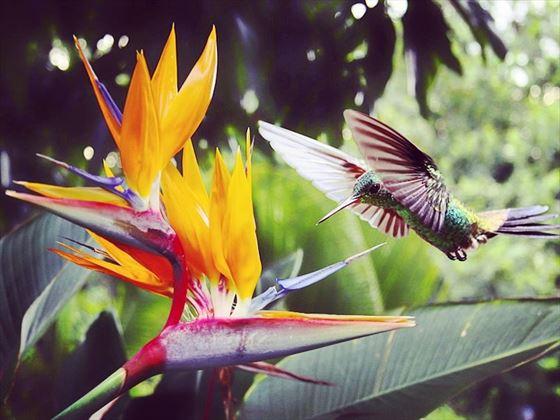 Tobago hummingbird