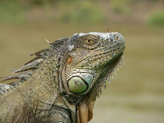 Iguana in Cahuita, Costa Rica