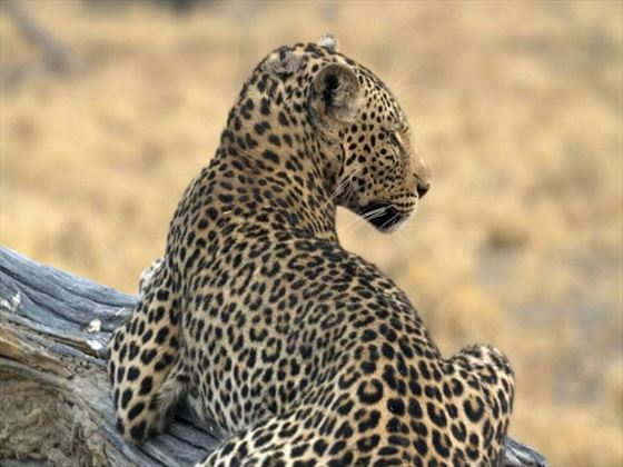 Leopard at Okavango Delta