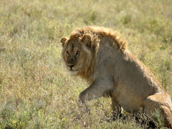 Lion in the grass at Masai Mara National Park
