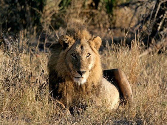 Lion, Okavengo Delta