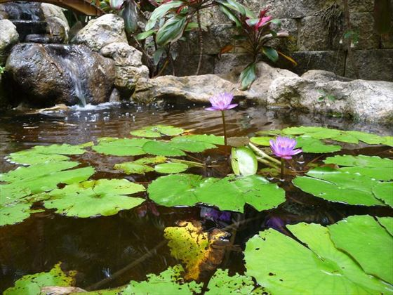 Lotus water lilies at Sunken Gardens, St Pete, Florida