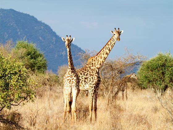 Masai giraffe in Mombasa