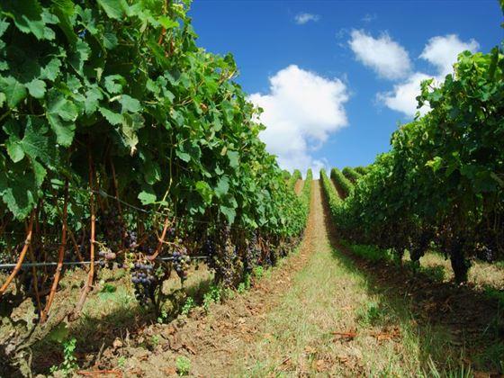 Matakana vineyard