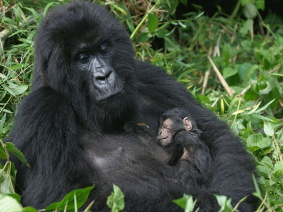 Mother and baby gorilla in Rwanda