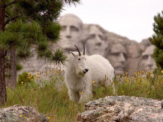 Mountain goat at Mount Rushmore