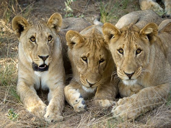 Ongava Tented Camp lions
