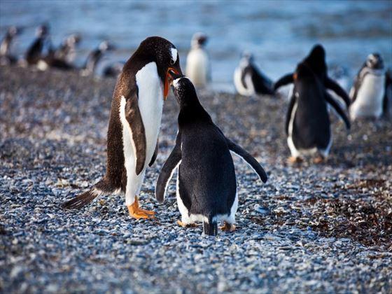 Penguins in Ushuaia