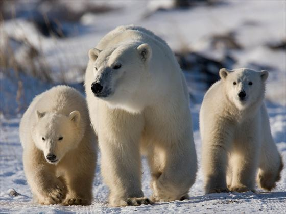 Polar Bears; Credit Michael Poliza; Churchill Wild