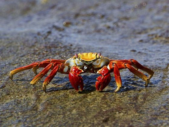Red Galapagos Crab on the Beach