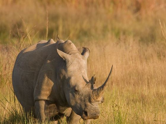 Rhinoceros in the grasslands