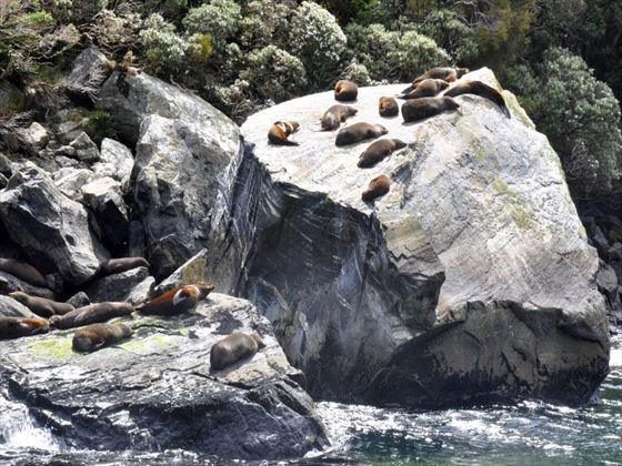 Seal colony at Milford Sound
