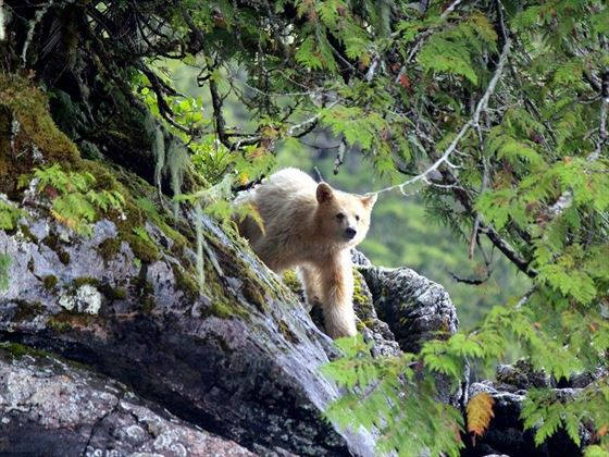 spirit bear near spirit beach lodge   phil charles