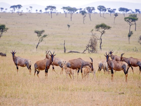 Thomson gazelle, Selous Game Reserve