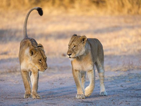 Lions in Sabi Sands
