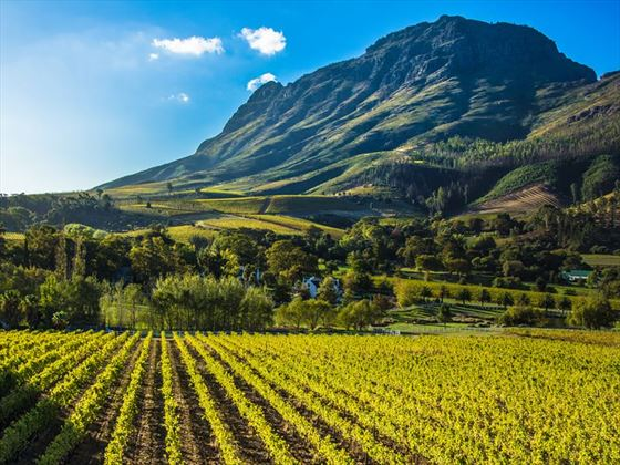 Scenic vineyards of South Africa