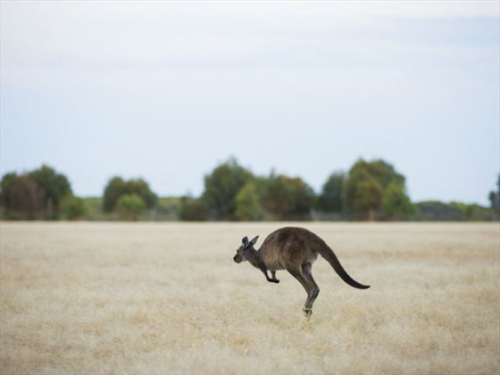 Wallaby at Kangaroo Island