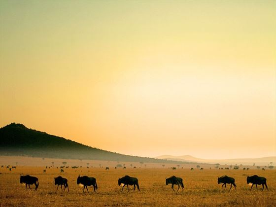 Wildebeest in Ol Kinyei