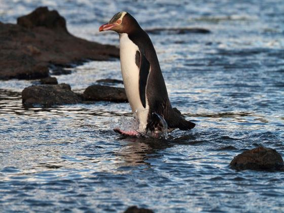 Yellow-eyed penguin, The Catlins