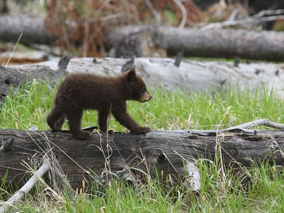 Yellowstone black bear cub
