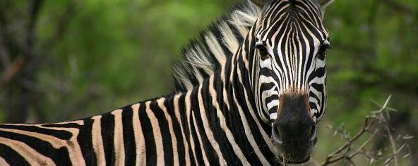 Jenn O'Neill zebra
