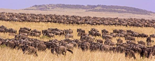 Masai Mara Migration