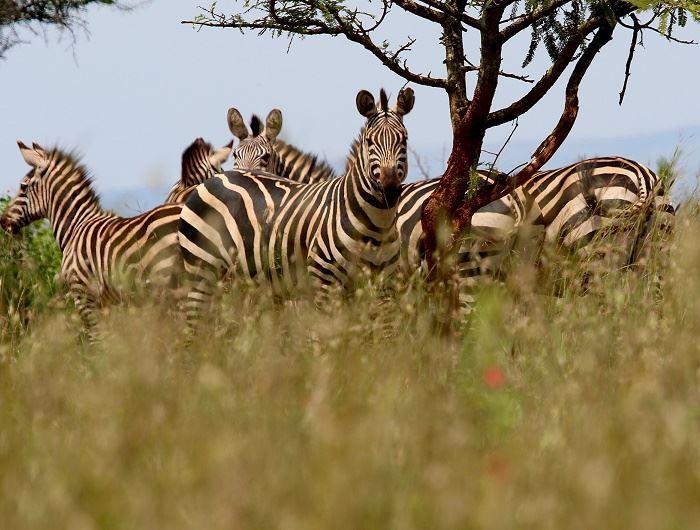 Getty zebra