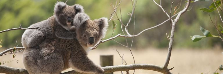 Koala mother and baby in Horden Vale