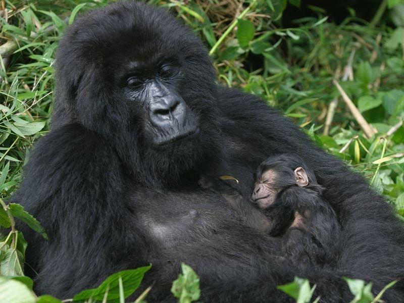 Gorilllas rwanda