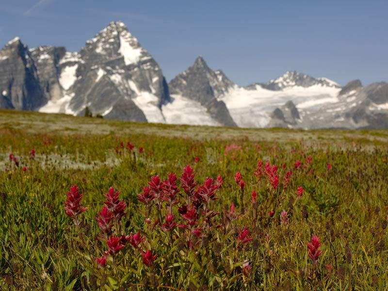 Wildflowers in an alpine meadow with views of Mount Sir Donald in Glacier National Park