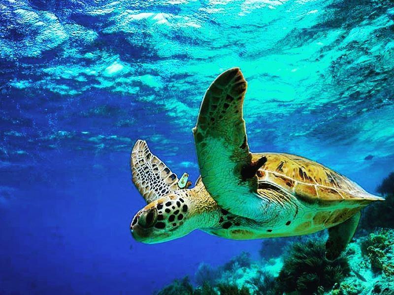 a tagged tobago sea turtle