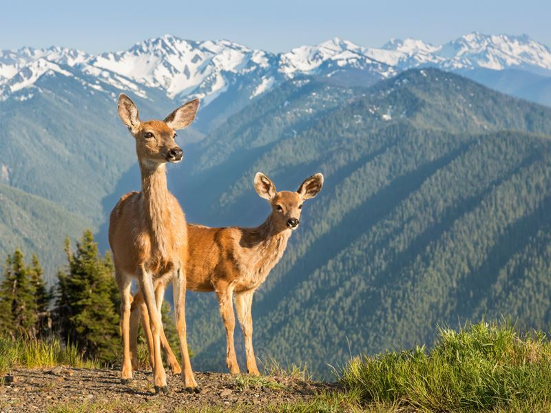 black tailed deer olympic national park washington state