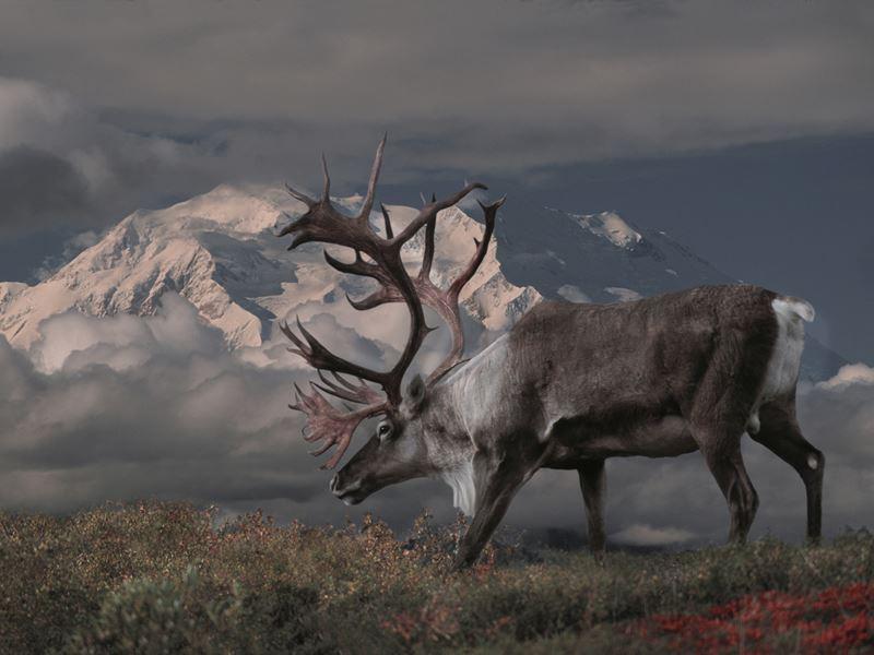caribou bull denali national park