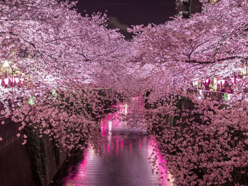 cherry blossom ueno park
